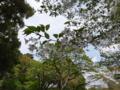 [散歩]皇居東御苑、昭和桜
