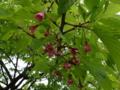 [散歩]皇居東御苑、琉球寒緋桜(バラ科)