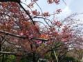 [散歩]皇居東御苑、関山(バラ科)