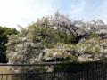 [散歩]皇居東御苑、大島桜(バラ科)