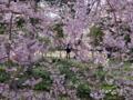 [散歩]皇居東御苑、八重紅枝垂(バラ科)