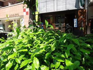 うおがし銘茶築地新店前の茶の木も新茶