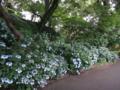 [散歩]皇居東御苑、紫陽花