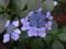 皇居東御苑、紫陽花