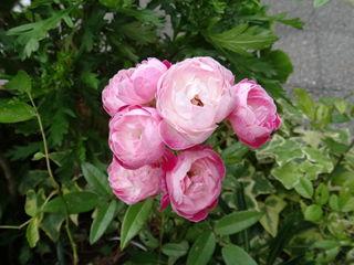 可愛い花。シャクヤクかな?