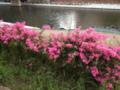 [散歩]川沿いの花