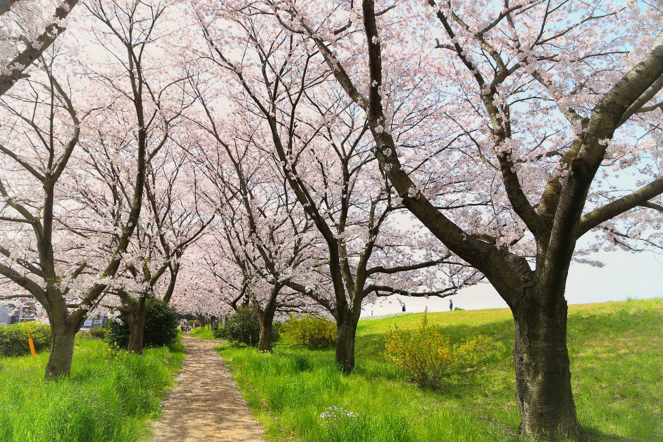 一眼レフカメラで撮った桜の写真