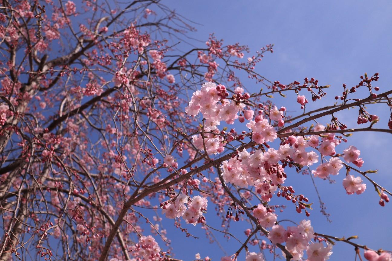ミラーレス一眼カメラで撮った桜の写真