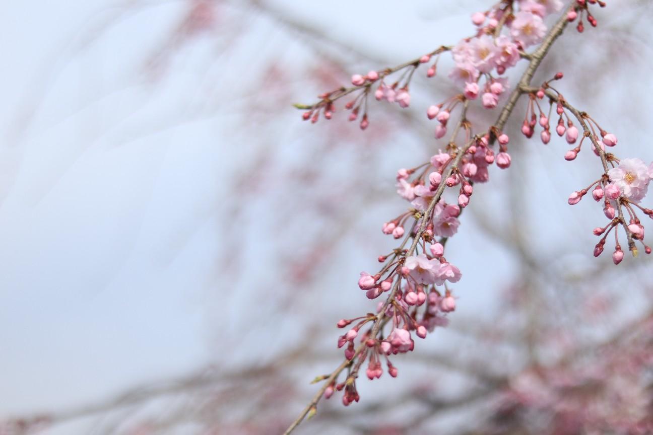 ミラーレスカメラで撮影した枝垂れ桜
