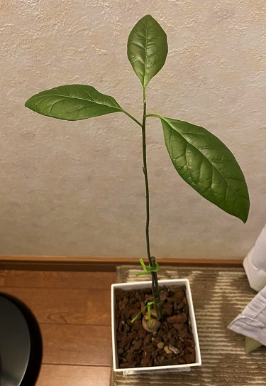 アボカド 種 水耕栽培~土に植え替え