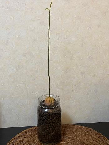 アボカド 栽培 ハイドロボール