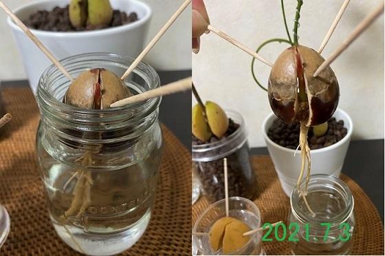 アボカド 種 水耕栽培 2021.7.3