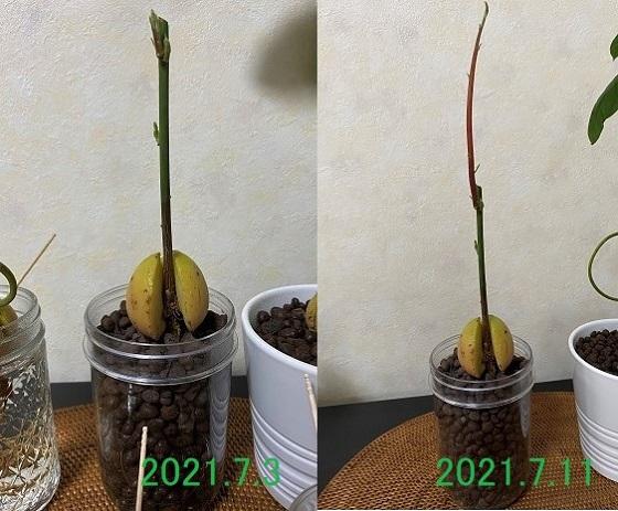 アボカド 種 水耕栽培 1週間の成長