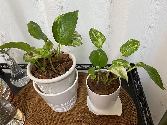 ポトス 水挿しから土に植え替え