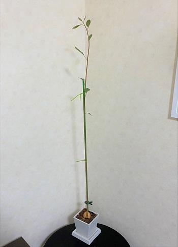 アボカド 種 土に植え付け