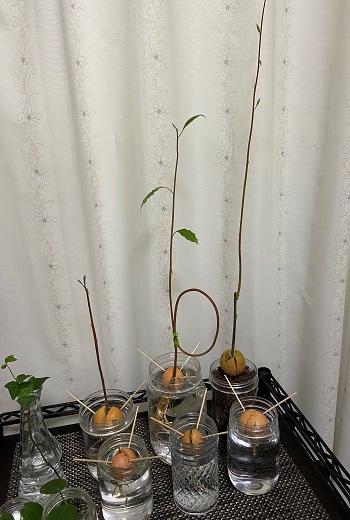 アボカド 種 水耕栽培