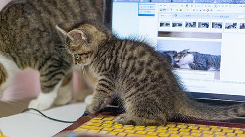 パソコンの上に乗って作業を邪魔する子猫の写真