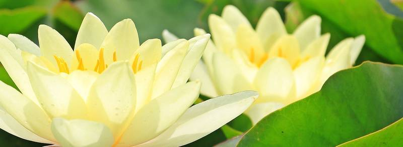 yellow-water-lilies