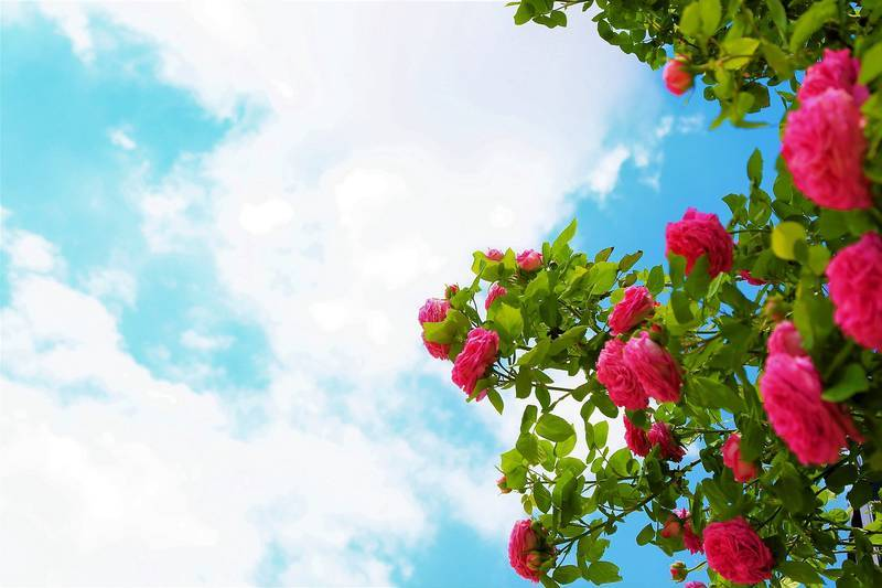 rose-in-the-sky