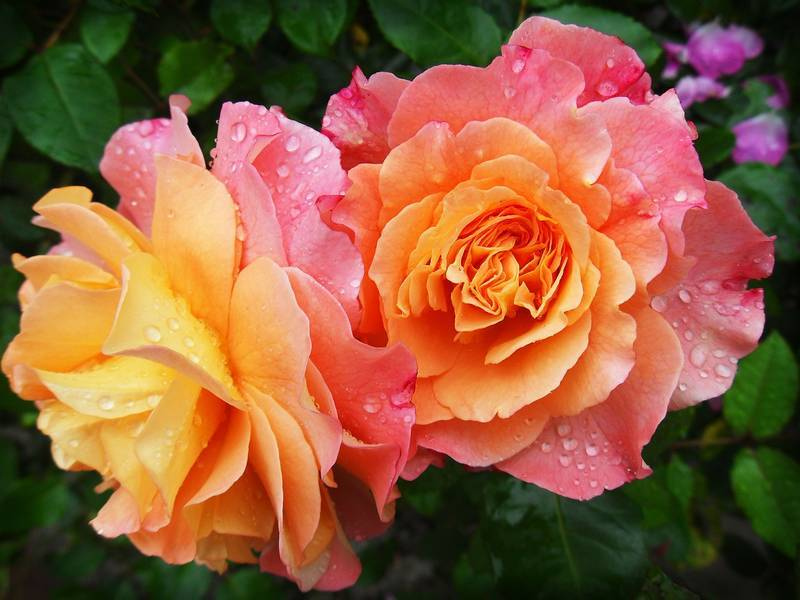 roses_in_the_rain