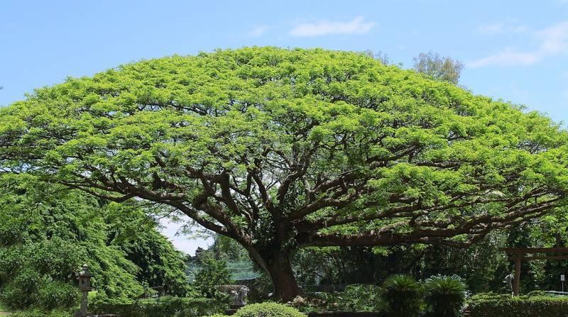 koa-tree