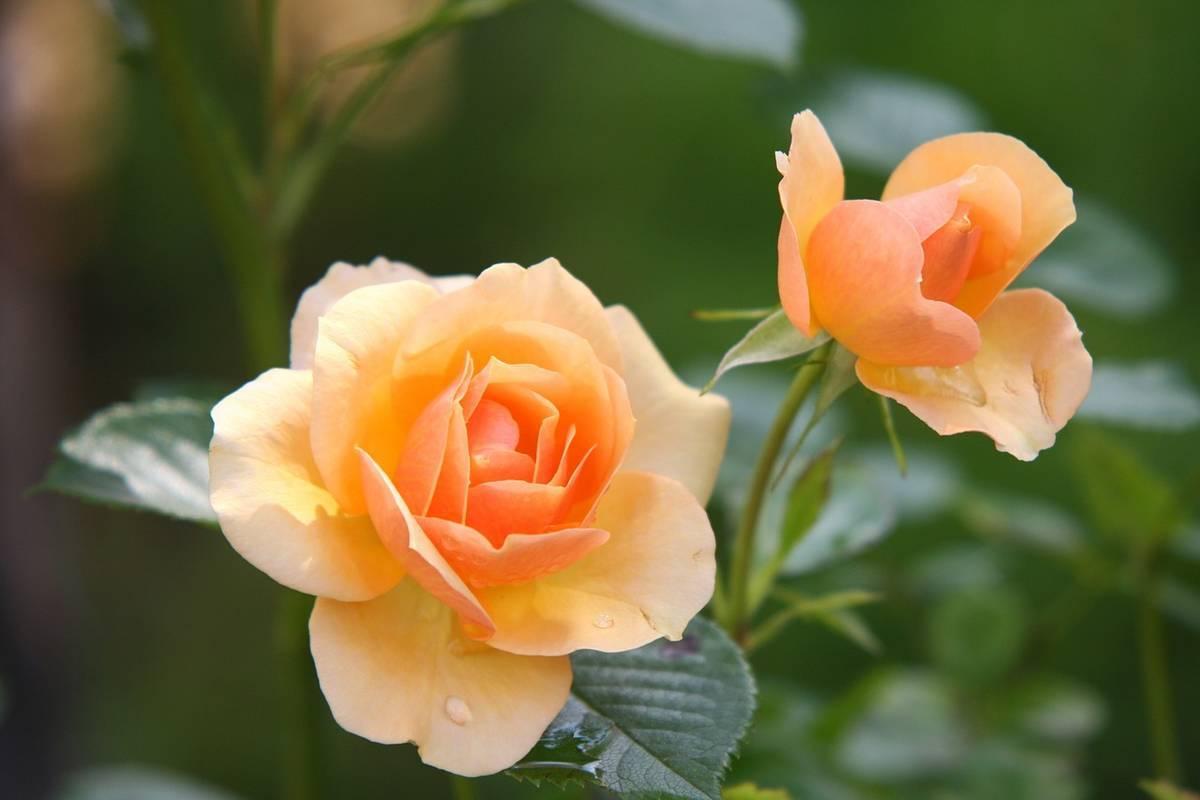 salmon_roses