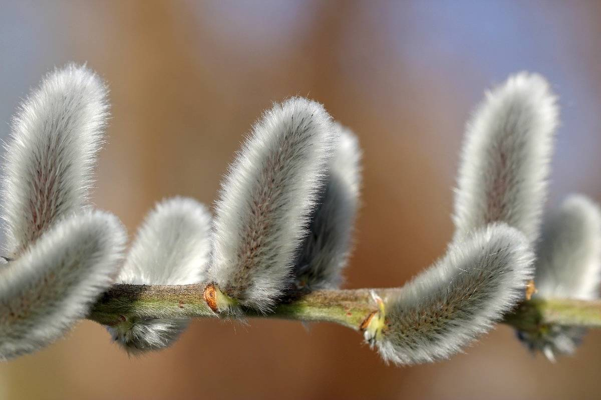willow-catkin