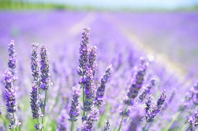 lavender-blossom