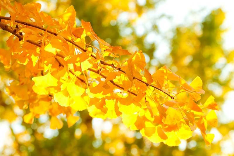 gingko-tree
