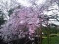 六義園枝垂桜1
