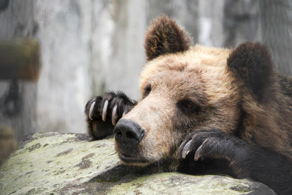 旭山動物園ヒグマ
