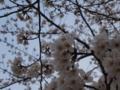 [桜2013]