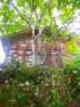 京大吉田寮。古びた建物には蔦がよく似合う。