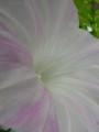 2009/07/24 アサガオ