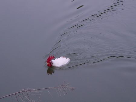 画像 : 泳ぐ!飛ぶ!ニワトリの隠れた能力がケッコー凄いぞ。 - NAVER まとめ
