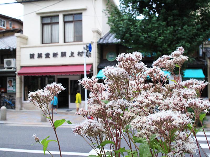 寺町通の藤袴