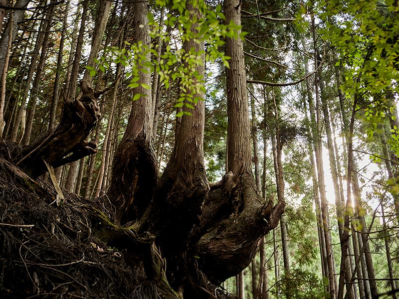 台杉仕立て