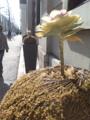 [花][道端]街