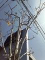 [花][樹木][街路樹]こぶし