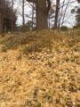 [阪急][茨木][銀杏][京都][西京極]オヤジ曰く いい堆肥に・・・