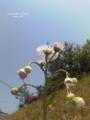 [道端][雑草][花][ハナミズキ]路傍の花