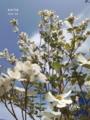 [道端][雑草][花][ハナミズキ]花水木