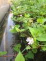 [街中の野池]畔の花