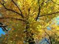 芝公園のいちょうの紅葉