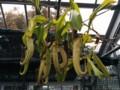 北大植物園の食虫植物