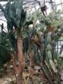 北大植物園のサボテン