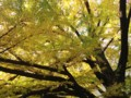 有栖川公園のいちょう