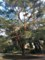 東京都庭園美術館 庭の松