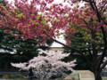 もっと色が濃いい桜(東工大)