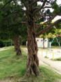 公園の不思議な木